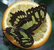 butterflyfeeder2 (6K)