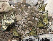 butterfly puddling