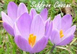 saffron (10K)