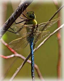 bluedragonfly (11K)