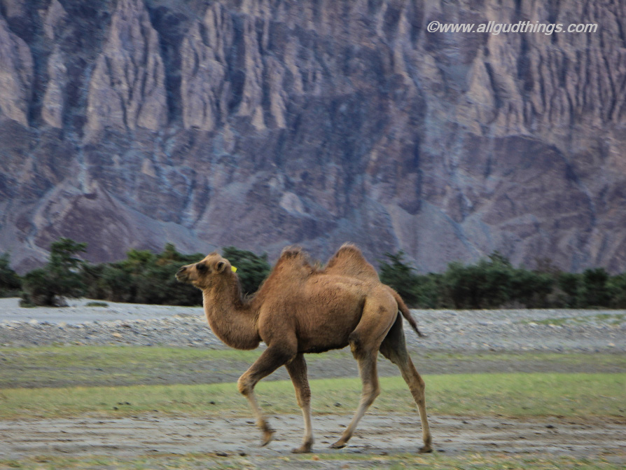 Double Humped Bactrian Camel, Nubra Valley