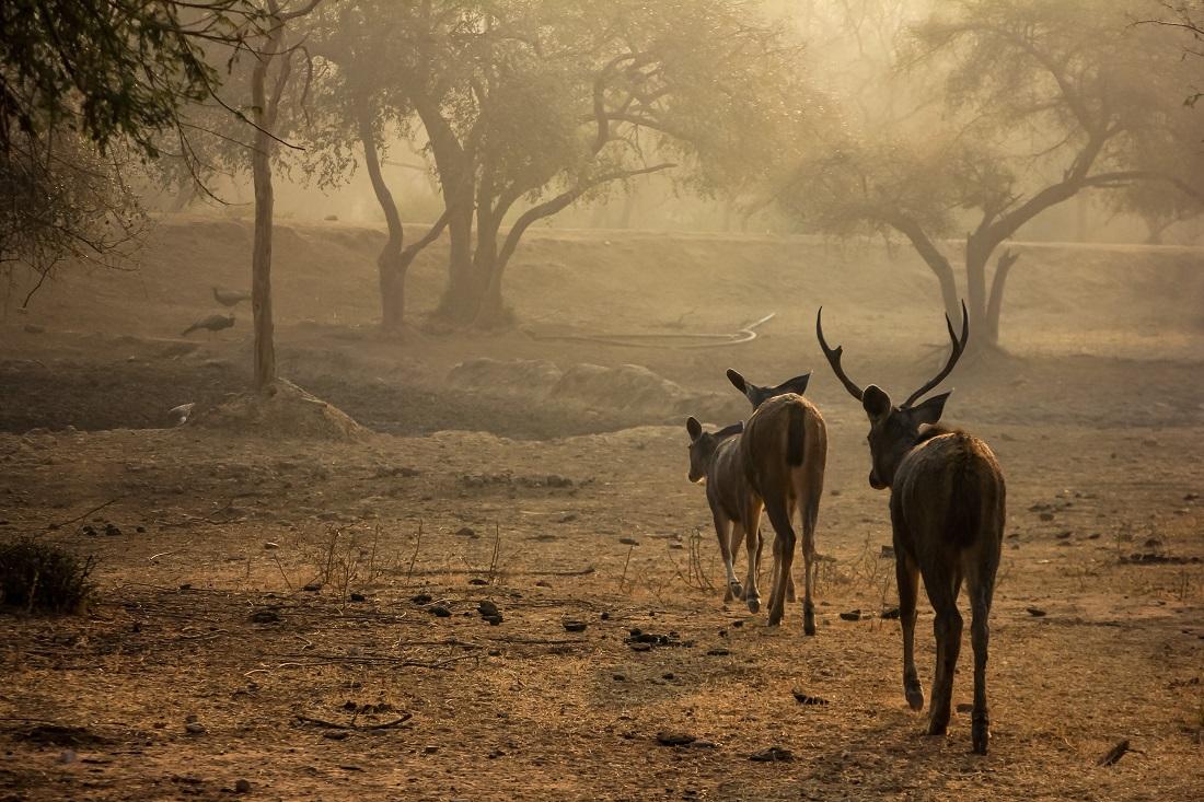 Safari in Sariska Tiger Reserve: Call of the wild