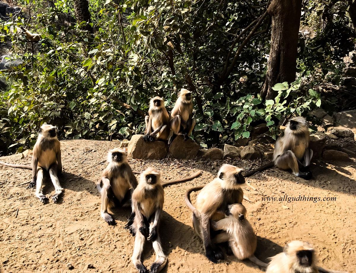 Langurs on the way to Pandupol in Sariska Tiger Reserve