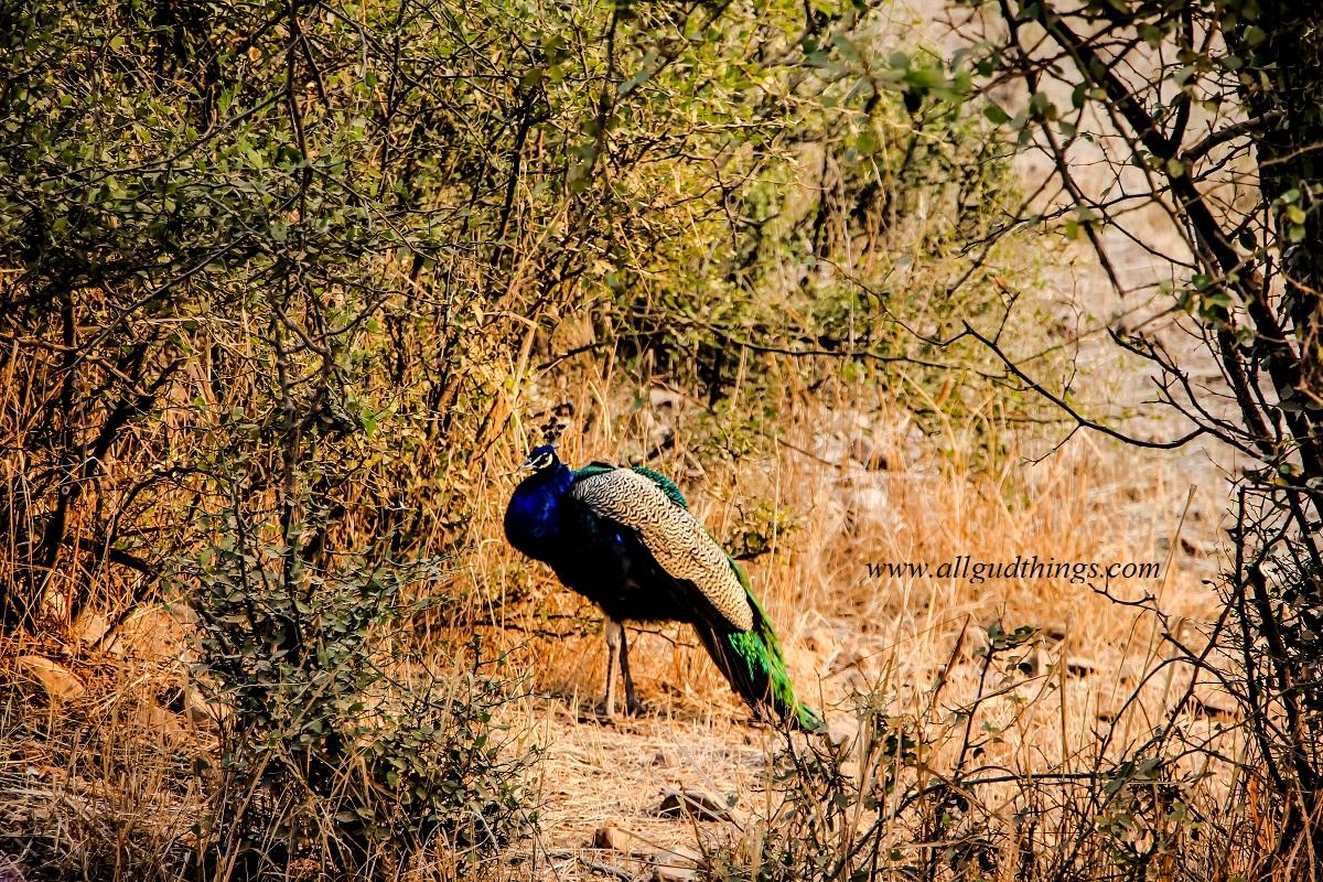Peacock at Sariska Tiger Reserve - National Park, India