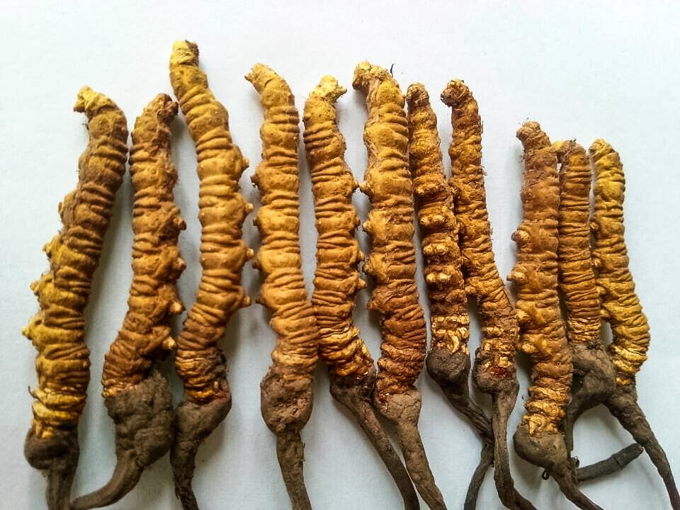 Caterpillar Fungus Yartsagumba