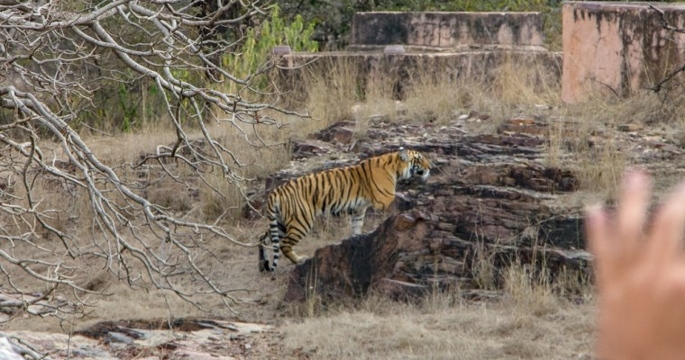 All about Jungle Safari at Ranthambore National Park