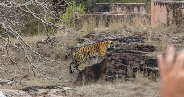 All about Jungle Safari at Ranthambore National Park