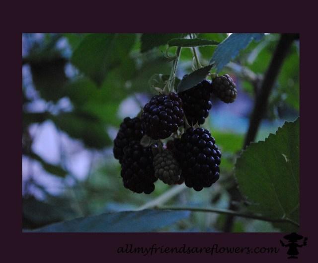 blackberries on the vine allmyfriendsareflowers.com