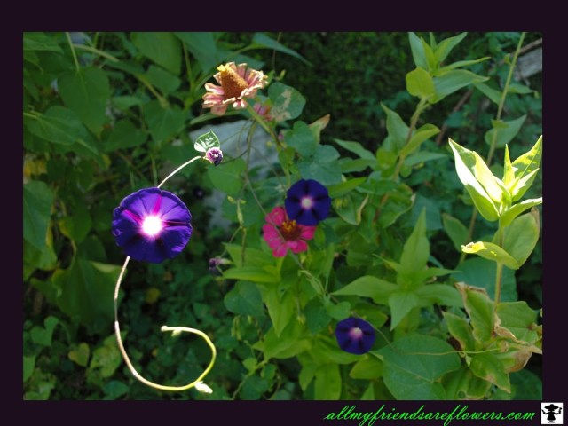 morning glory, sunlight on flowers, gardening, flower images
