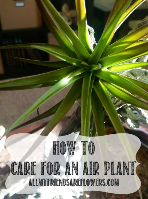 how to take care of your air plant tillandsia. Black Bedroom Furniture Sets. Home Design Ideas