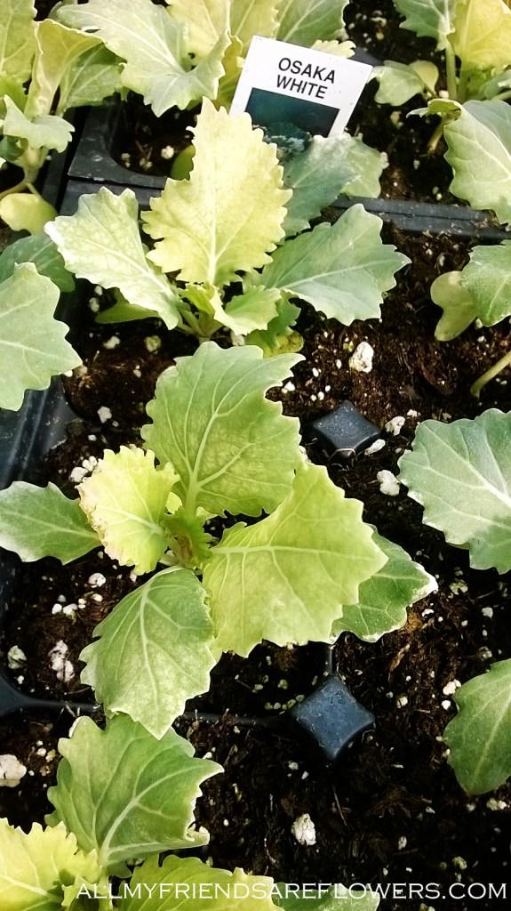 ornamental kale 3