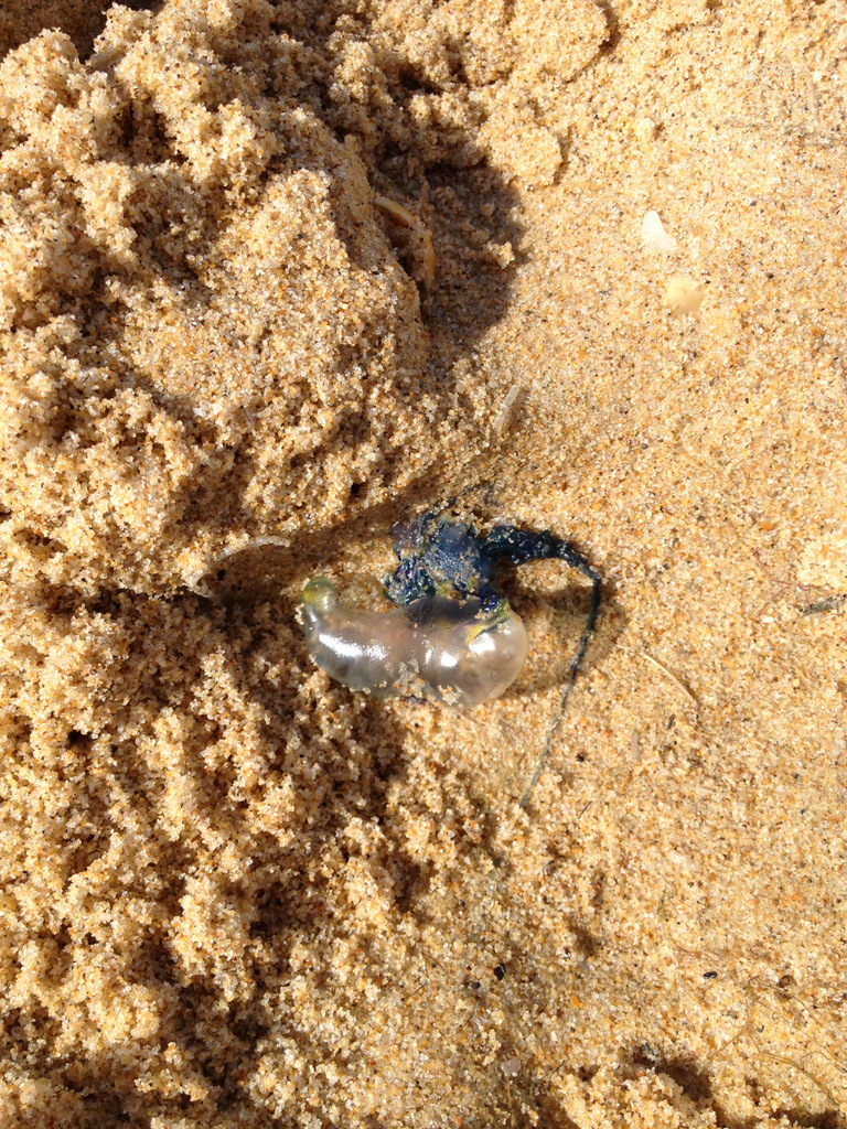 Tiny bluebottle jellyfish