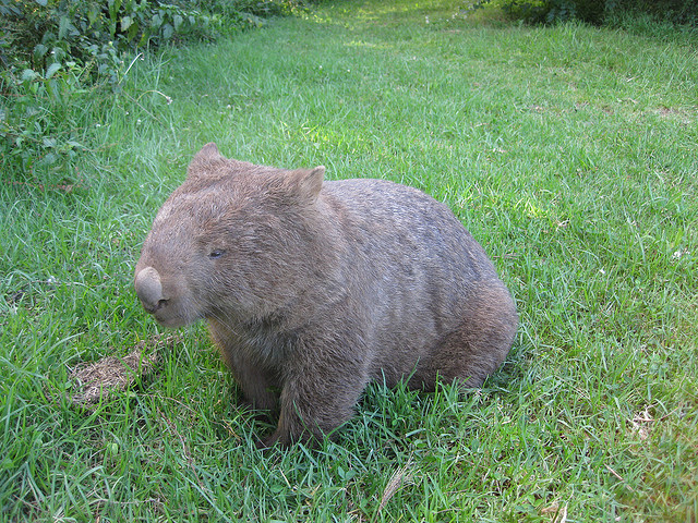 Wombat by Phil Whitehouse