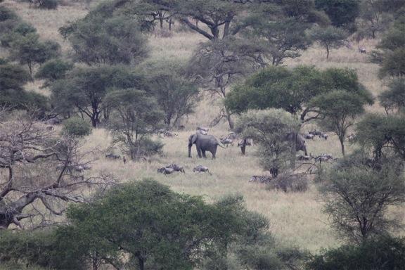 elephants wildebeests