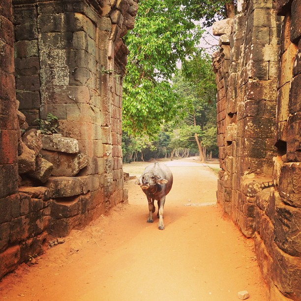 We just had to dodge this water buffalo on the way into Ta Prohm, a famously overgrown temple in the Angkor complex.