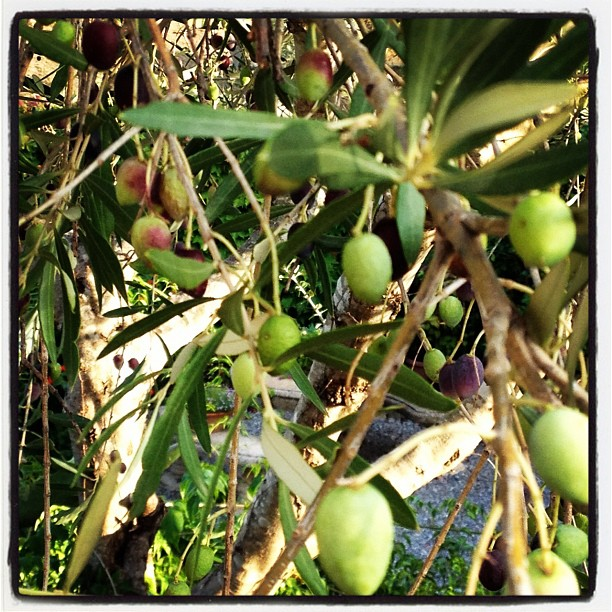 An olive tree grows in a yard in Gariguella, Spain