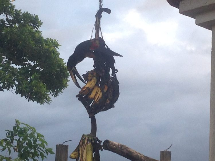 This wild toucan helped itself to the bananas that hung at the Buena Finca