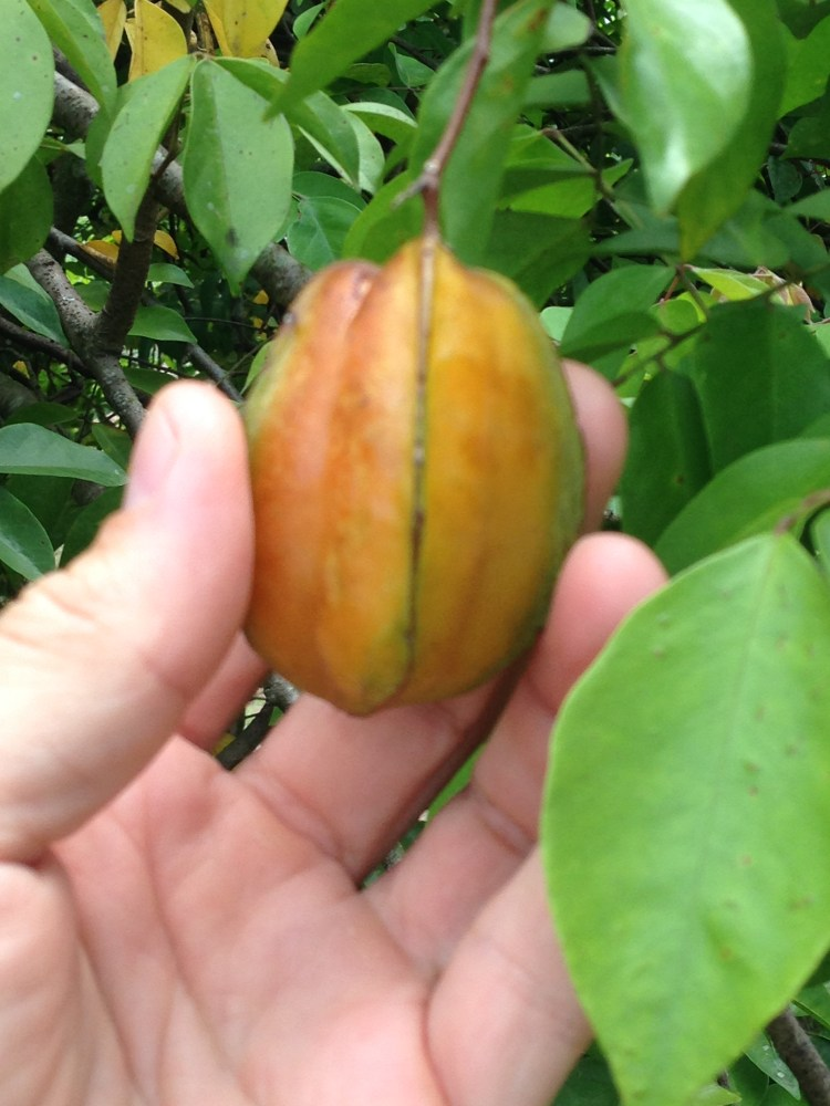 I got this Star Fruit before it hit the ground. These fruit get their name because when cut, the pieces resemble stars.