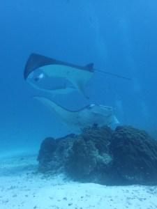 manta rays frolicking