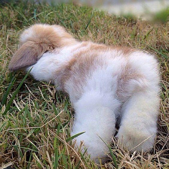 fluffy bunny resting rabbit