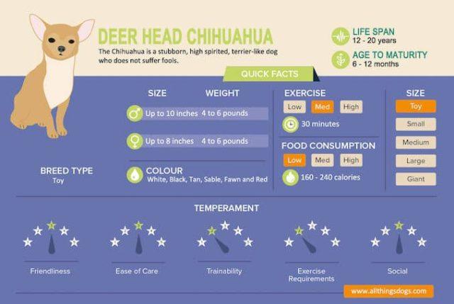 Deer Head Chihuahua Infographic