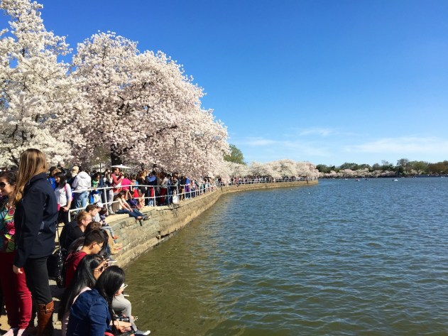 The National Mall was packed with visitors as the Cherry Blossoms were at their peak.
