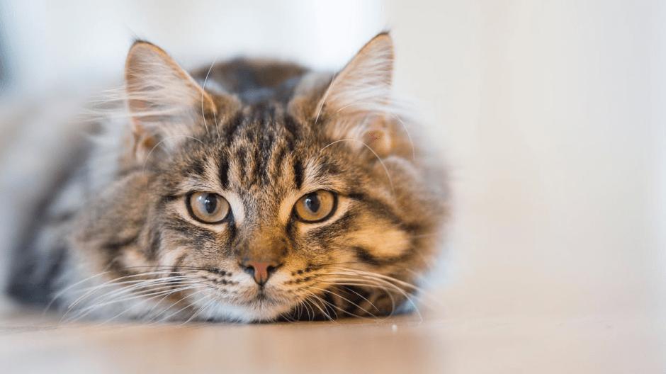 most popular cat breed