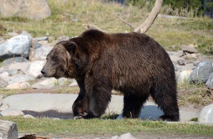 Bär, Grizzly, Grizzlybär, Säugetier, Tier, Bären, Brown