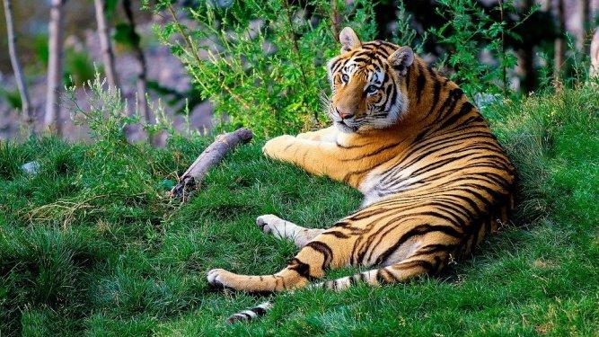 Bengal Tiger, Tiger, Tierwelt, Tier, Wild, Säugetier