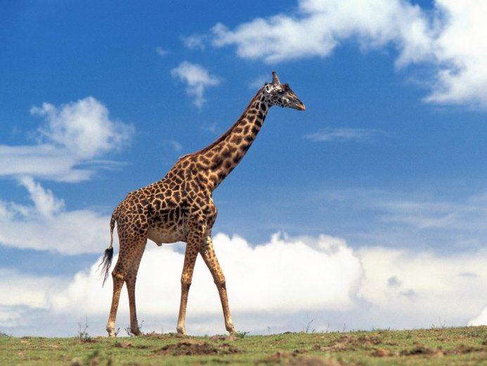 giraffe - tallest animals in the world
