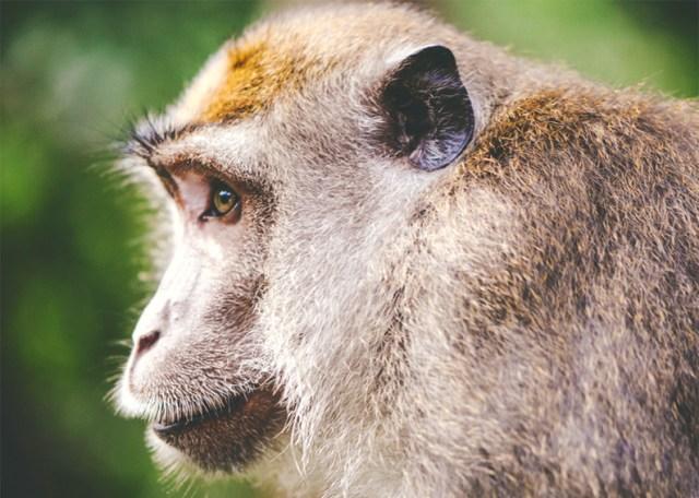 thai monkey