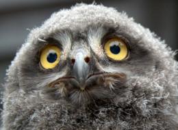Germany Snowy Owls