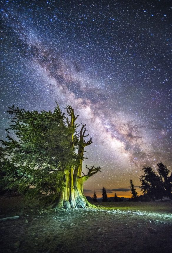Living Bristlecone Pine