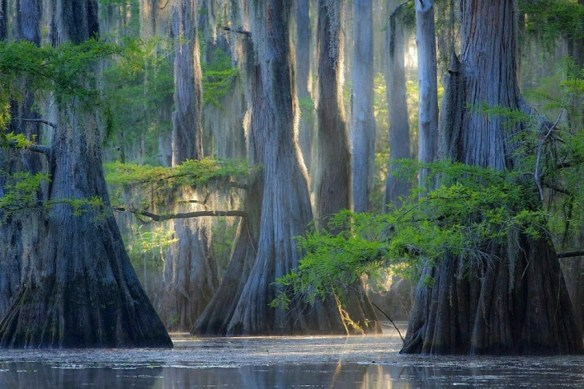 Cypress Trees Caddo Lake