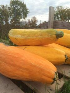 extinct squash grown from seeds in  ancient pot