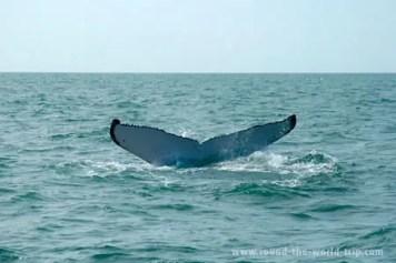 Baleia jubarte no arquipélago de Abrolhos