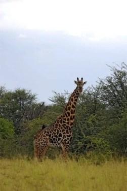 Girafa na Moremi Game Reserve, Delta do Okavango