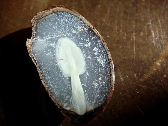 Persimmon Seed Split Open