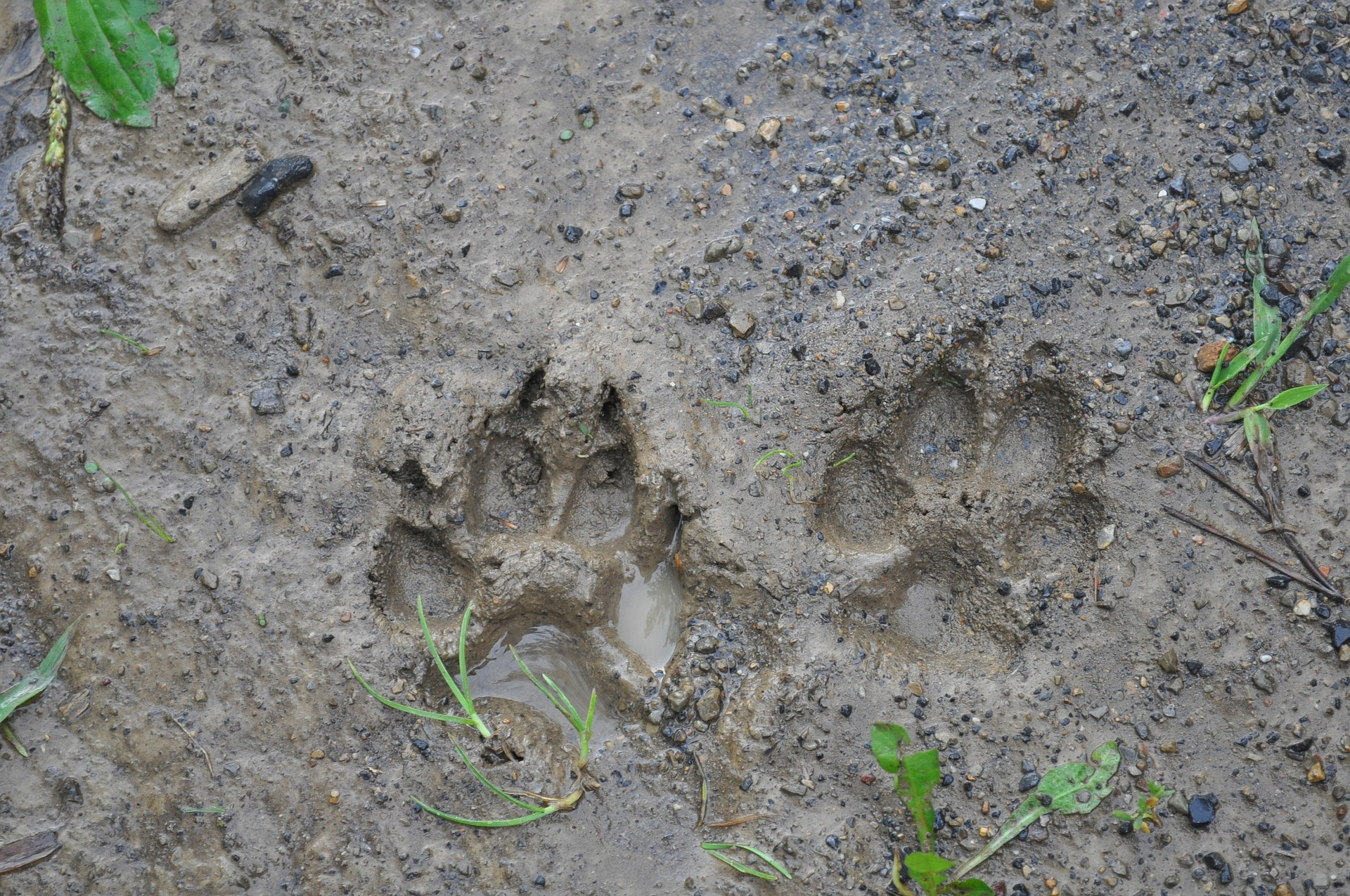 Animal Tracks Identification Animal Footprints Pictures