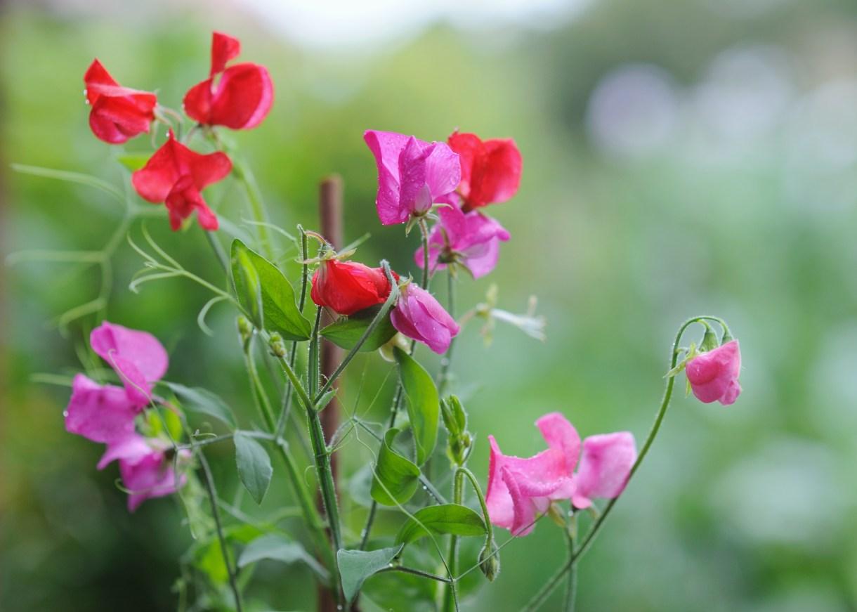 Sweet Pea-flower basket