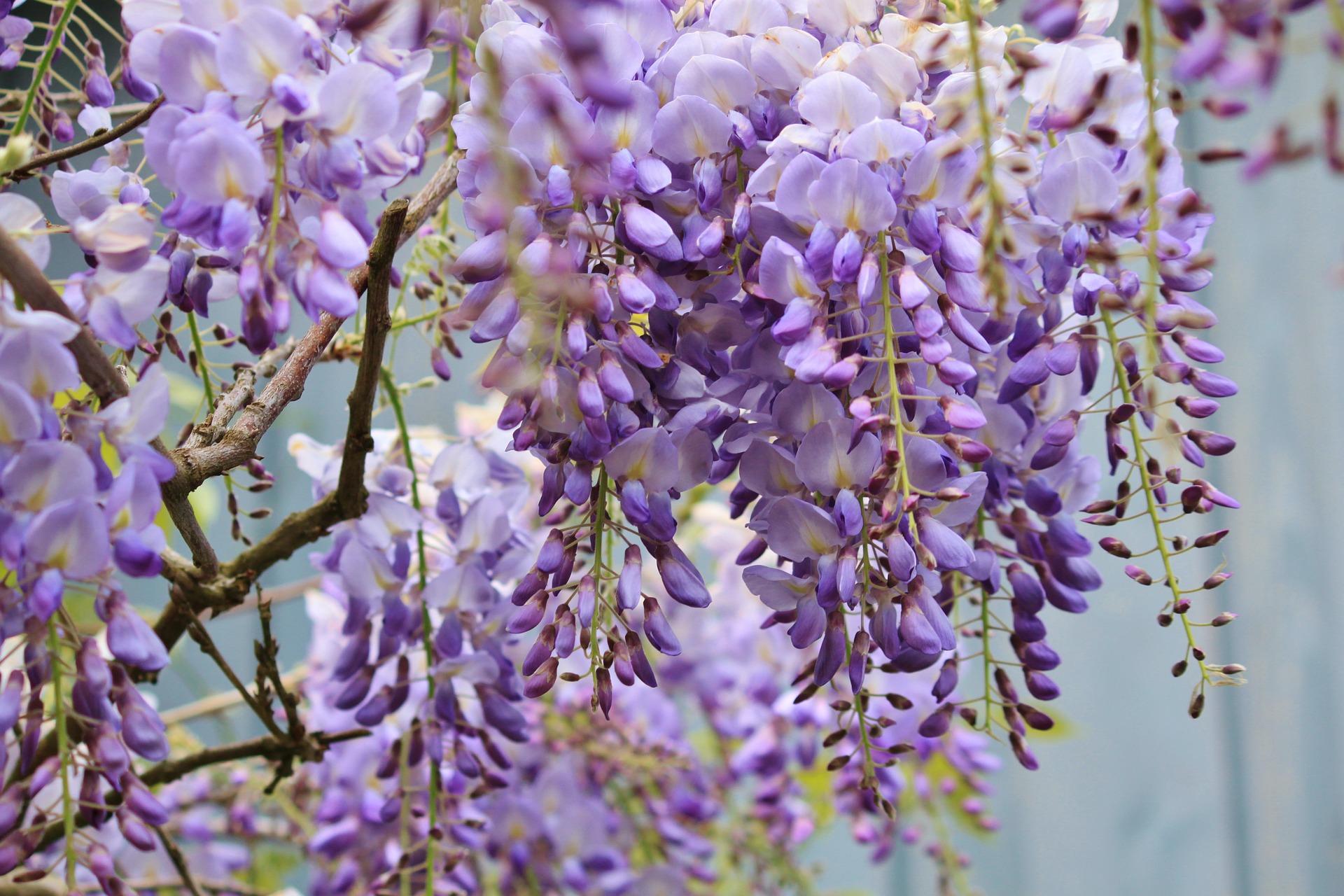 What Fresh Lavender Good