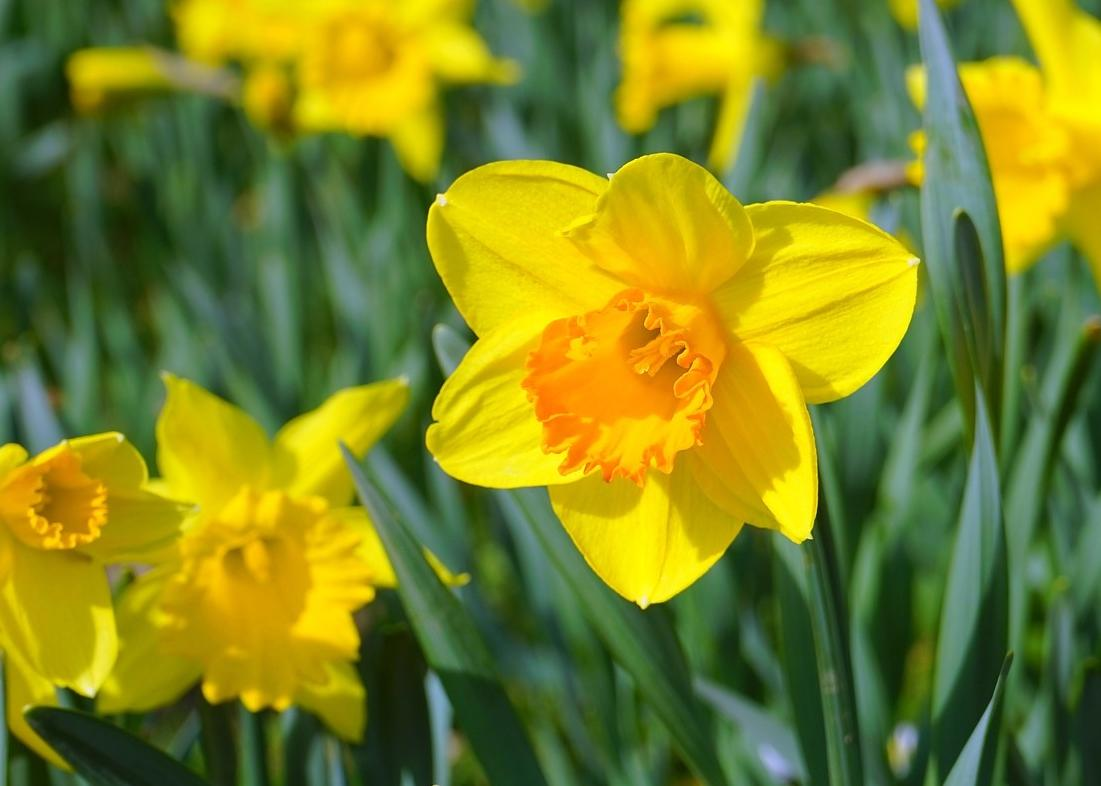 Daffodils  How to Plant  Grow  and Care for Daffodil Flowers   The     Daffodil Yellow