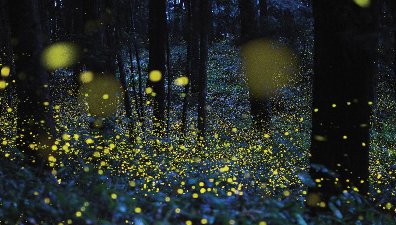 Fireflies, Lightning Bugs, Beetles