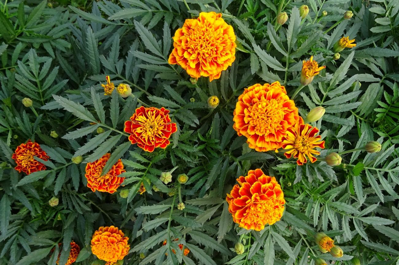 Marigolds  How to Plant and Grow Marigold Flowers   The Old Farmer s     How to Plant  Grow  and Care for Marigolds