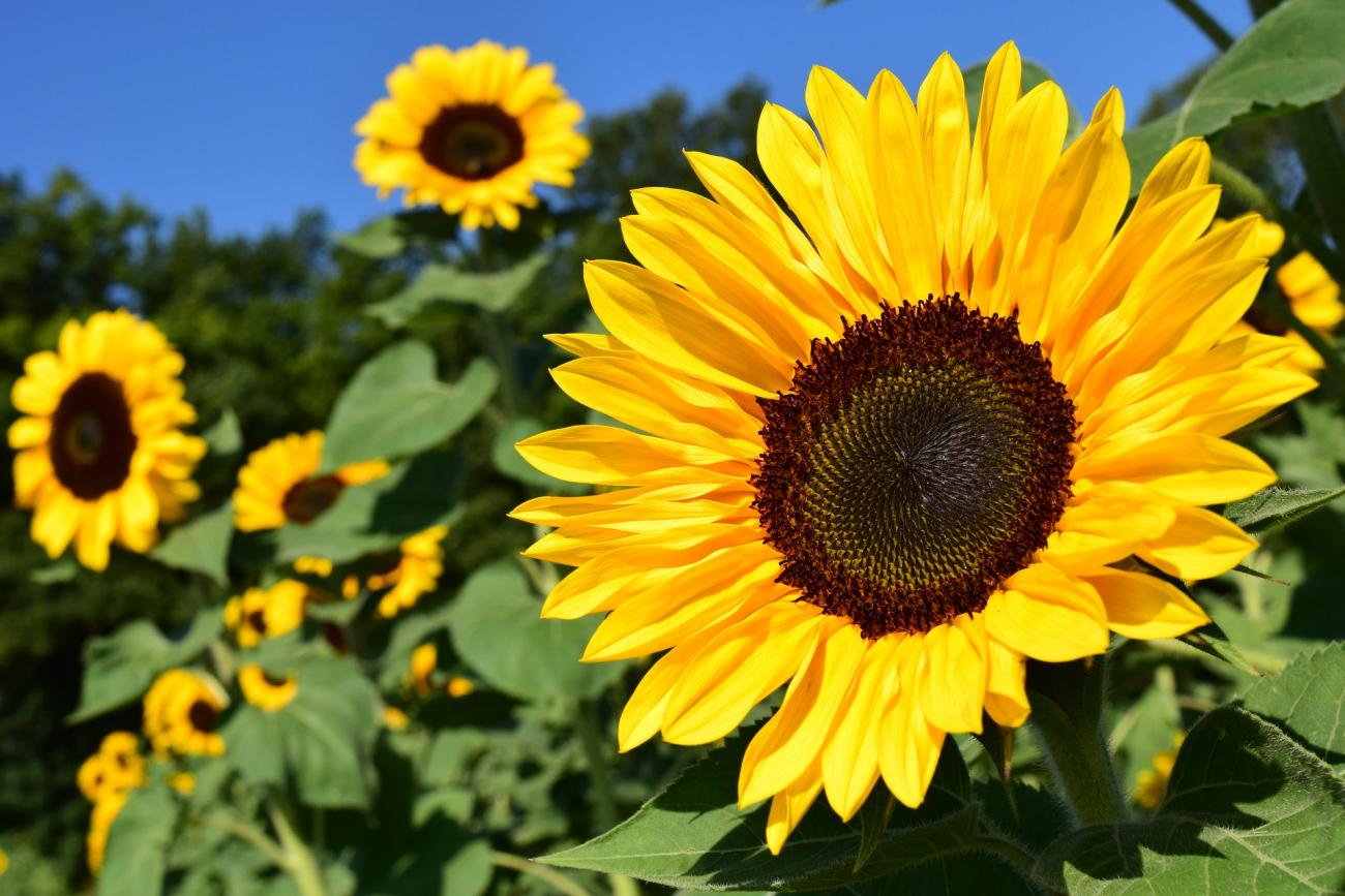 Sunflowers How To Plant Grow And Care For Sunflower