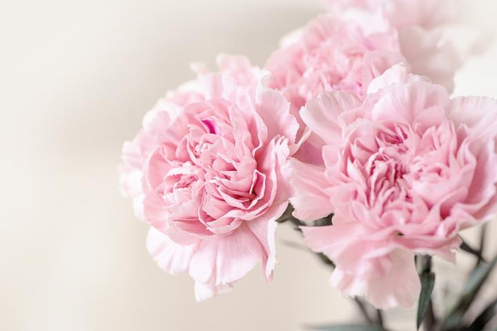 January Birth Flowers and Meanings   The Old Farmer s Almanac pink carnation