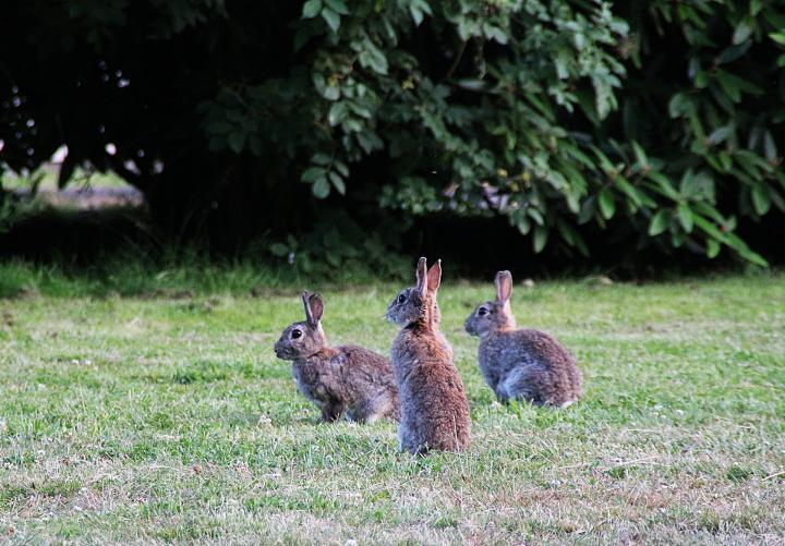 How Get Rid Rabbits My Yard