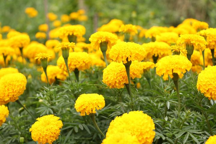 Marigolds  How to Plant and Grow Marigold Flowers   The Old Farmer s     Yellow marigolds