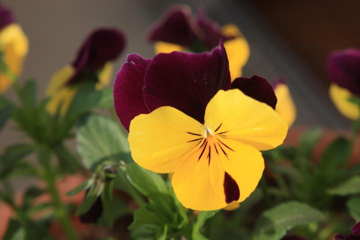 Growing Pansies  How to Plant  Grow  and Care for Pansy Flowers  The     pansies yellow variety jpg