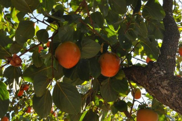 persimmon-tree_full_width.jpg